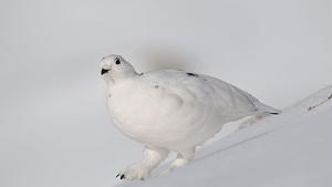 Lagopède alpin posé sur la neige