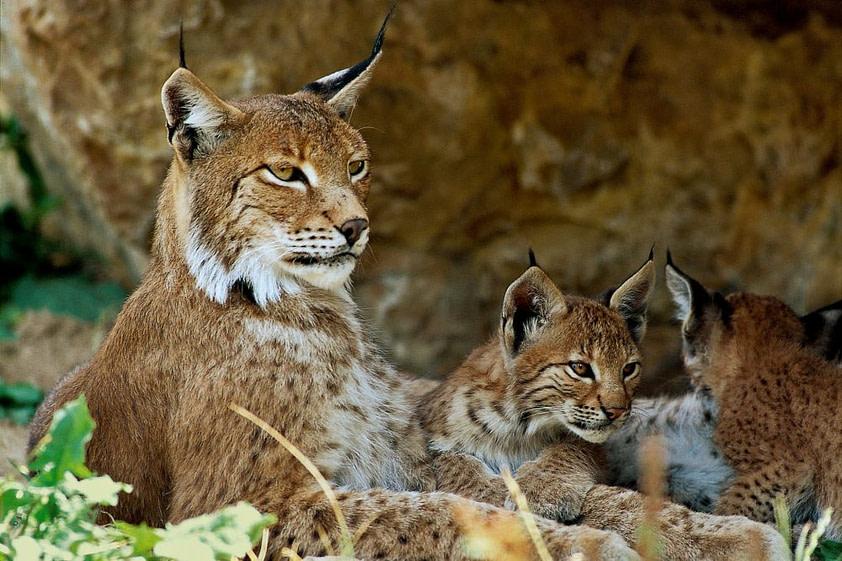 lynx parc naturel jura