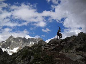 Chamois sur le flan d'une montagne