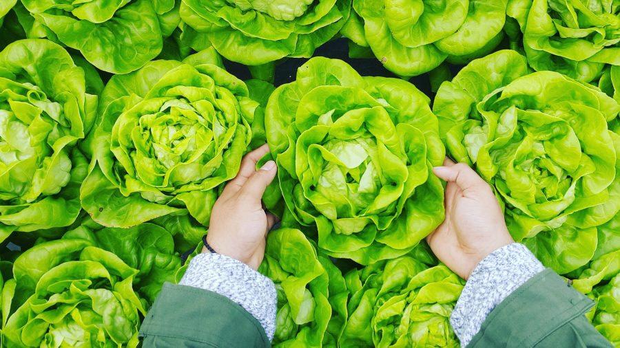 cueillette salades à la ferme