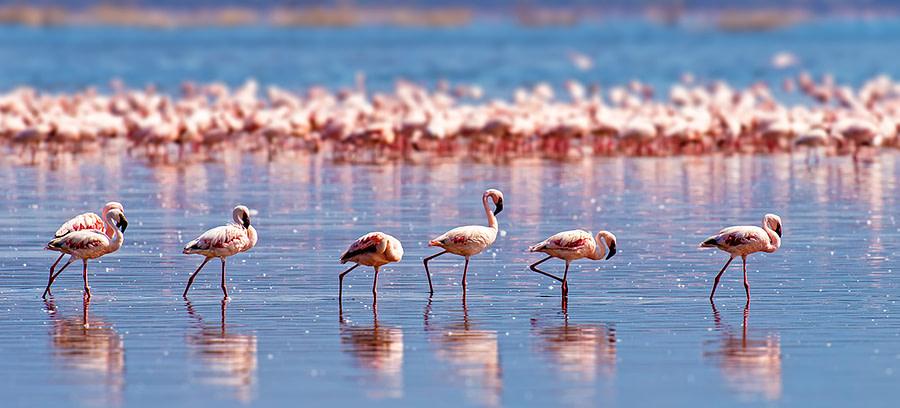 Flamants roses marchant sur un plan d'eau