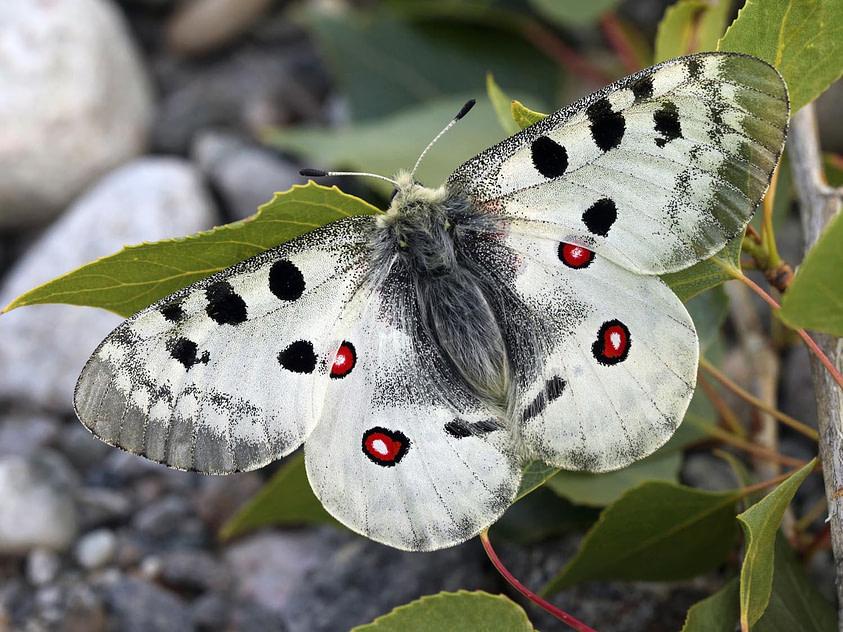 Papillon l'apollon